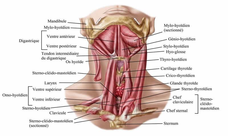 Les muscles du cou.